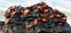 Galapagos Islands Sally Crab Tour 2021