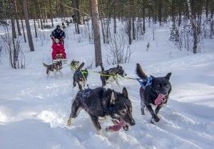 Husky sled dog 2021